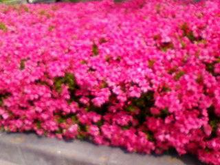 サツキの花が満開です!