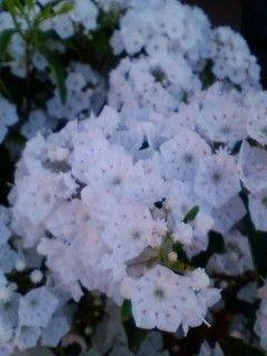 """""""カルミア"""" の花が咲きました!"""